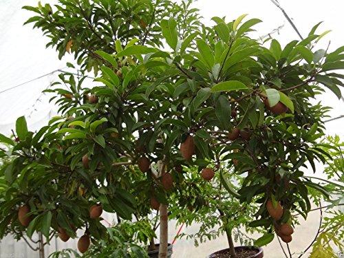 25 graines sapotillier arbre Graines, la Jamaïque sapotilles Sapodilla, Cultivez intérieur/extérieur