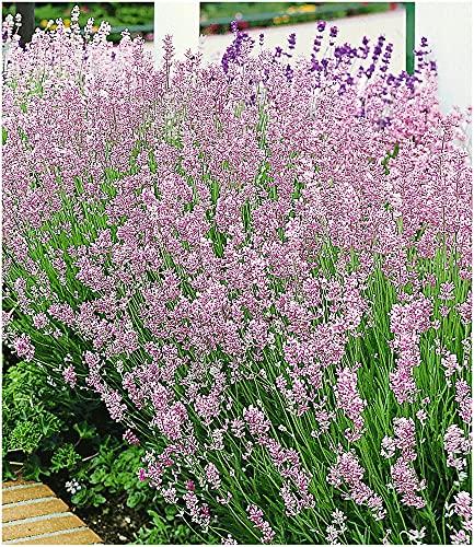 BALDUR Garten Duft-Lavendel 'Rosa'...