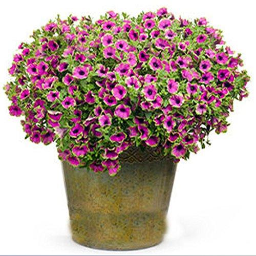 Graines Rose Garden Petunia avec Graines Red Flower Eye 200PCS Bicolor Blooms sur un monticule complet semi-arrière beauté
