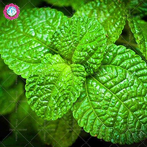 100PCS Mint Seed 100 graines de chaque pack parfum Mentha arvensis herbes aromatiques Graines de plantes