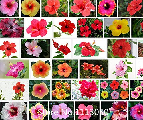 Promotion 100 Riesen-Hibiskus Samen Blumensamen Hardy, mischen Farbe, DIY Hausgarten vergossen oder Hof Blume Pflanze, Nove
