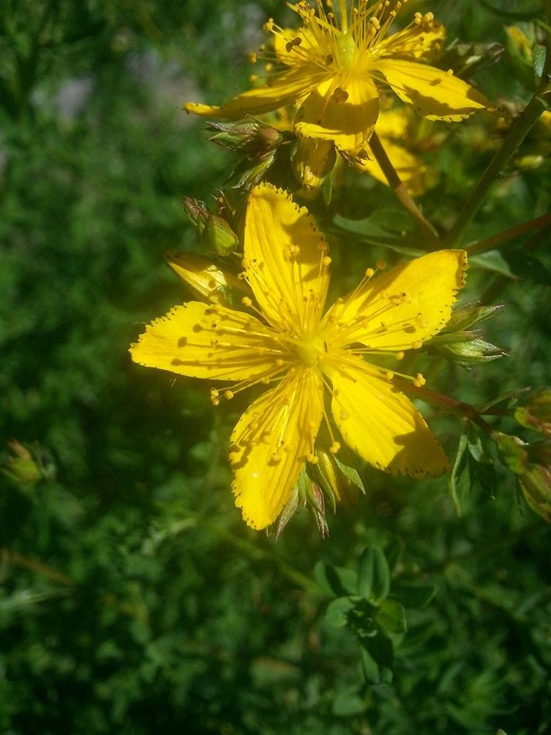 St. sale John'S Wort He.rb Directly managed store S.eeds pcs 50 Perforatum Hypericum