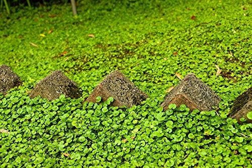 Rasenersatz Bodendecker Dichondra repens silberregen 300 SAMEN -Gras, das nicht tobe gemäht