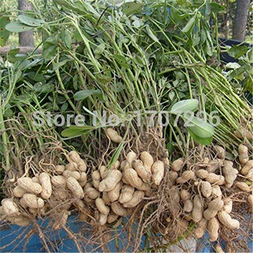 Arachis hypogaea semillas, cacahuetes rojos de cultivos, deliciosa comida en busca de semillas - 10 PC / porción