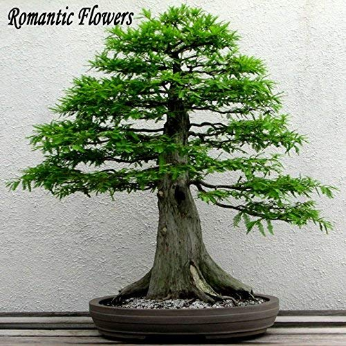 Authentic graines de sapin chinois, Perennial Green Mini Bonsai (arbre Graines) Plante 100 particules / Sac