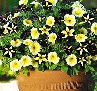 Rare Phantom Petunia Flower Seeds 100pcs Black Yellow Garden Flowers