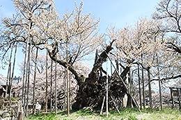 [高橋政光]の神代桜