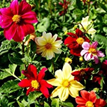Dahlia Seeds - Coltness - Packet, Mixed Colors, Flower Seeds