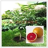 自宅の庭の植栽のための盆栽タイのザボンシトラスマキシマ、ザボンブドウ、