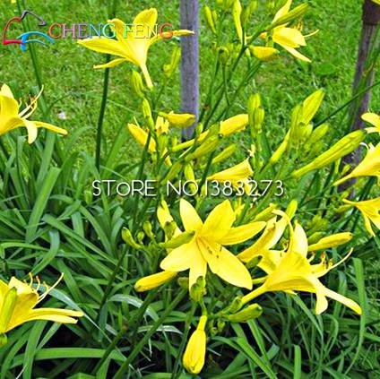 100pcs hémérocalles Graines Légumes Plantes d'extérieur Graines vivace Fleur Haute-nutrition Bricolage * Herbes de plantation de semences à la ferme