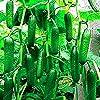 Kisshes Giardino - Semi di cetrioli biologici Mini-cetriolo Snack Semi di frutta vegetale Perenne ad alto rendimento resistente per giardino balcone/patio #3