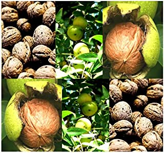 5 x Northern California Walnut - Hinds Black Walnut - Juglans hindsii - Tree Seeds - Self Fertile Plant is Hardy to Zone 7 - by MySeeds.Co