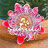 We ship quality seeds It is an imported product High Germination quality Granadilla 50Pcs Passiflora Seeds Passion Fruit (Passion Flower) Bonsai Flower Seeds New Plants Fruit-Tree-Seeds For Home Garden