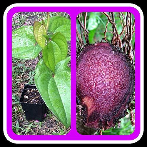 HONIC Samen-Paket: UBE Lila Yam Starter Pflanze, (5 Pflanzen)
