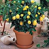 Wongfon 30 Stück Zitronensamen für die Pflanzung Gelbe Zitrone Obstbaum Hausgarten Bonsai Pflanzen