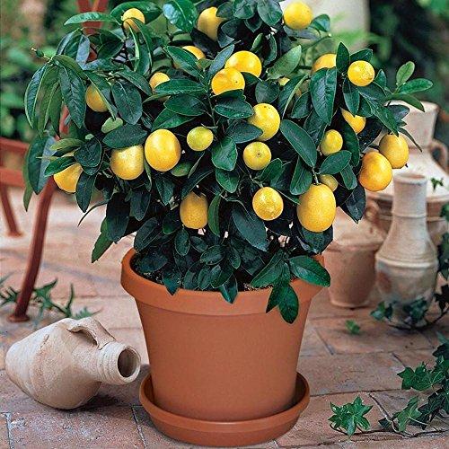 Graines de citron jaune KAYI Lemon Seeds pour la plantation de plantes de jardin à la maison 30 pcs