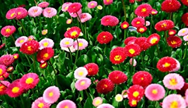 Seeds4planting - Seeds Daisy Pompom Mix - Organic