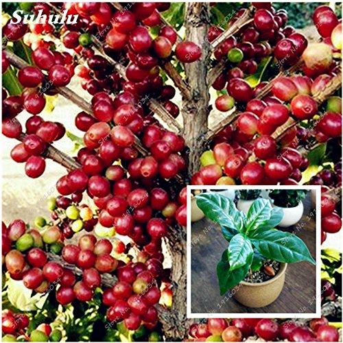 ¡Gran venta! 15 Semillas Semillas piezas de Coffea arabica grano de café tropical Bonsái, Semillas de frutas perenne de café profesionales Jardín de plantas