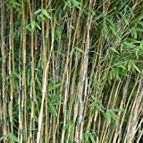 Fargesia nitida Volcano | Bambù | Erba ornamentale | Altezza 90-120 cm | Vaso Ø 22 cm