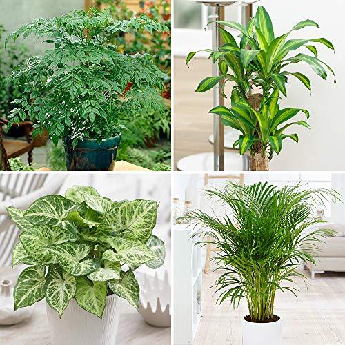Houseplant Mix 4 x Indoor Plants in 12cm Pots