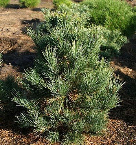 Zirbelkiefer Westerstede 40-50cm - Pinus cembra