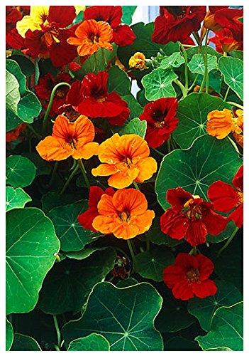 Lot de 10 graines Capucine naine à fleurs doubles Jewel Mix - plante annuelle