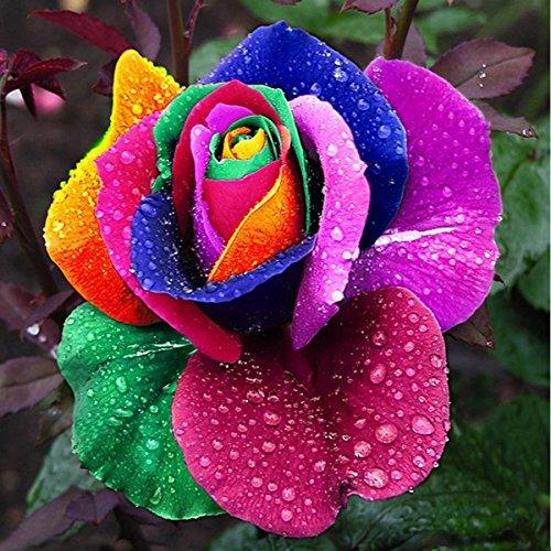 1000Pcs Beautiful Rainbow Rose Seeds Multi-colored Rose Seeds Rose Flower Seeds