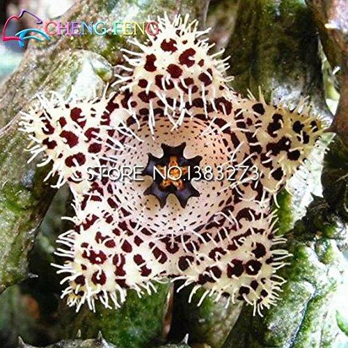 100pcs Stapelia Graines Lithops Mix Succulentes Raw Pierre Cactus Graines rares Plantes frais Bonsai Maison et Jardin Pots de fleurs des plantes