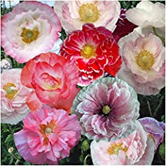 """Bulk Package of 100,000 Seeds, Shirley Mixed Poppy """"Double Mixture"""" (Papaver rhoeas) Open Pollinated Seeds by Seed Needs"""