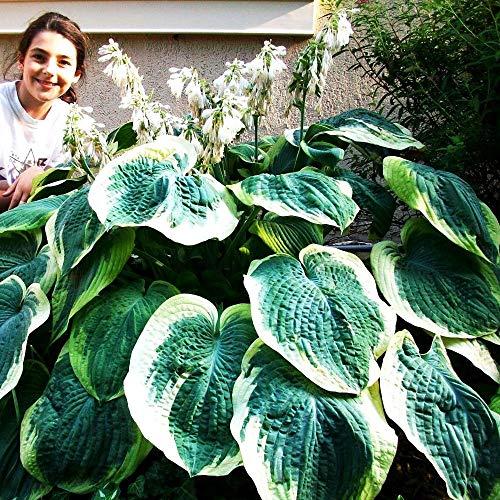 Funkien pflanze Blühende pflanzen Blattpflanze 1x Rhizome Hosta Earth Angel