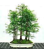 (Metasequoia * Ambizu *) 50 Pcs Dawn Redwood Bosque Semillas Bonsai Bonsai Metasequoia glyptostroboides