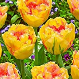 Kaimus 20 graines tulipes graines graines fleurs à semer parfumées fleurs parfumées graines de tulipes colorées Graines