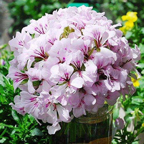 20 graines/paquet Hanging Bonsai Géranium graines pour jardin Décoration Géranium Graines de fleurs violettes