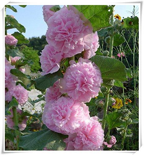 fleurs doubles trémière Graines-Alcea rosea rose, rose, rouge, jaune graines de fleurs vivaces bonsaïs pour 50seeds de plantes de jardin Accueil / sac 110mix