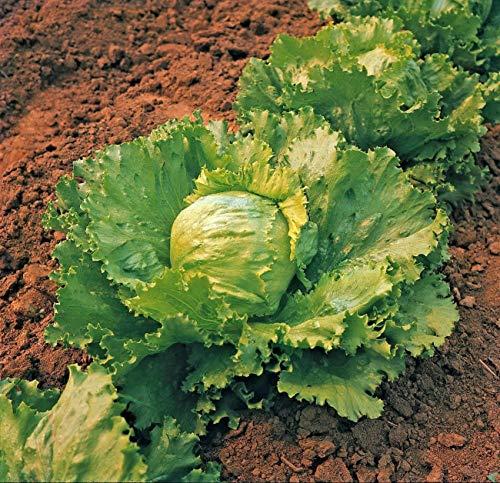 Approx 4000 Seeds of Vegetable Lettuce Saladin