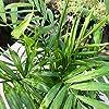Chamaedorea elegans [Vaso Ø17cm | H. 60 cm.] #1
