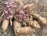 100 semillas/Pack.Annual de frutas y semillas de hortalizas yacón...