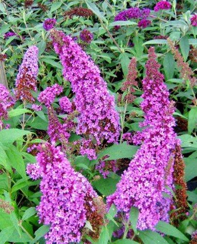 Cespuglio di farfalla lavanda, 251 SEMI, BUDDLEIA DAVIDII, in crescita e FIORITURA