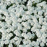 Derlam Samenhaus-100 Pcs Iberis sempervirens weiß immergrüne Bienenfreundliche Blumensamen bodendecker mehrjährig winterhart Bio Saatgut für Garten
