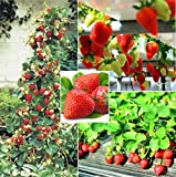 250+ Red Climbing Strawberry Seeds Everbearing Fruit Plant Home Garden Sweet and Delicious