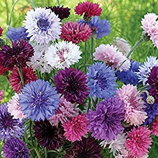 Non GMO Bulk Cornflower/Bachelor Button Seeds -