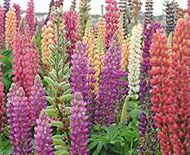 Lupinus Polyphyllus (Large-leaved Lupine / Garden Lupin) 400 Seeds