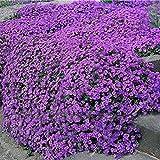 Risitar Graines - 100pcs Rare Campanules des rocailles phlox mousse tapis de fleurs, plantes tapissantes Grainé fleur jardin Plantes vivaces résistante au froid, idéal en rocaille, bordure