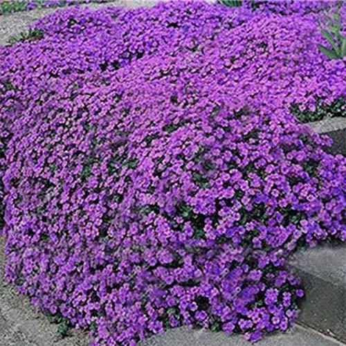 SummerRio Garten-50 Stücke Selten Creeping Thymian Samen Duftend Echte Steingarten Staude Teppiche Bodendecker Blumensamen Winterhart Mehrjährig
