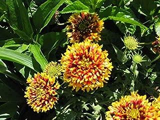 30 Sundance Bicolor Gaillardia Pulchella Indian Blanket Flower Seeds