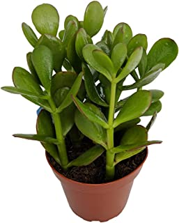 Best large jade plant for sale Reviews