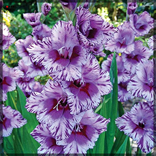 Cut Flowers/Greening Flower/an Old Fashioned Flower/Patio/Gladiolus Bulbs-4 Bulbs