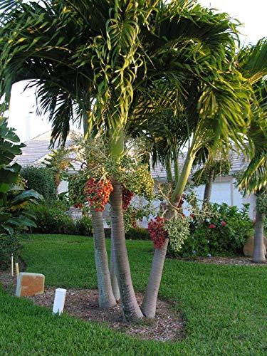 Veitchia MerrillII Weihnachtspalme, 25 Samen
