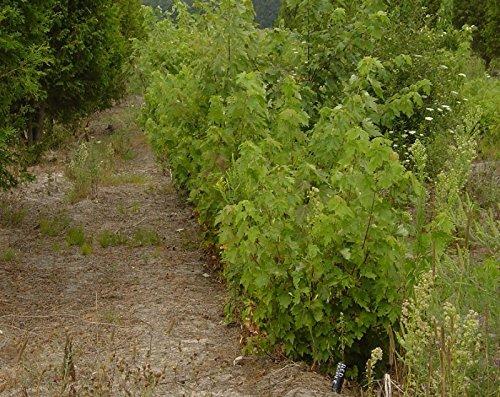 LOT Albero di acero rosso Acer rubrum 1-2' DI 4 SEMENZALI