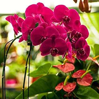 Kukakoo's Most popula Seeds, Indoor and Outdoor, Easy to Feed, Easy to grow20Pcs Butterfly Orchid Seeds Phalaenopsis Amabilis Flower Garden Bonsai Decor - Red Butterfly Orchid Seeds